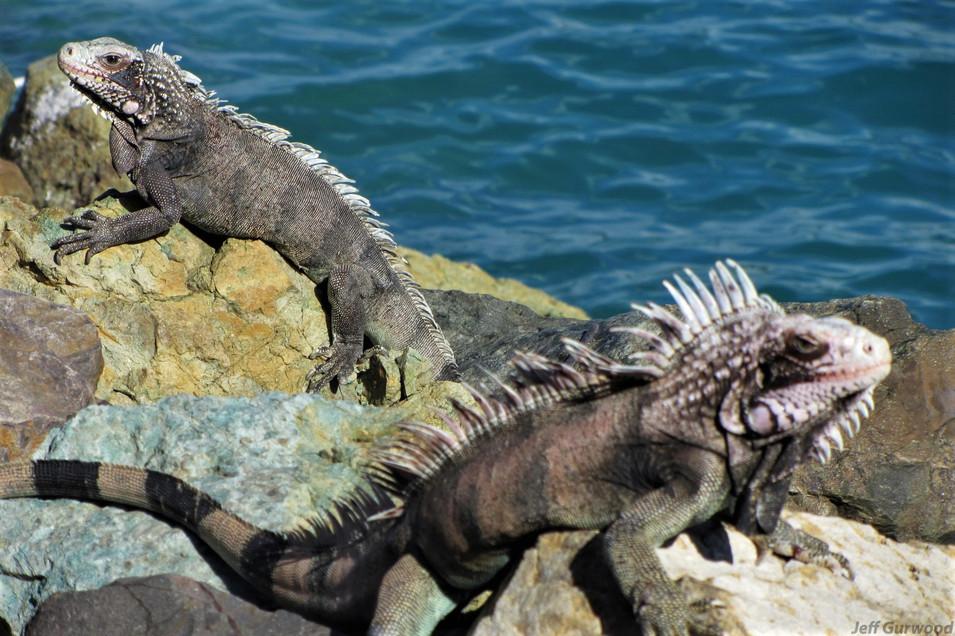 Nassau Iguanas 2012 4