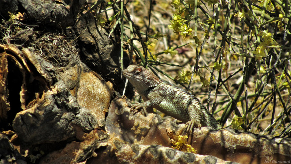 Arizona Lizard 2011 2