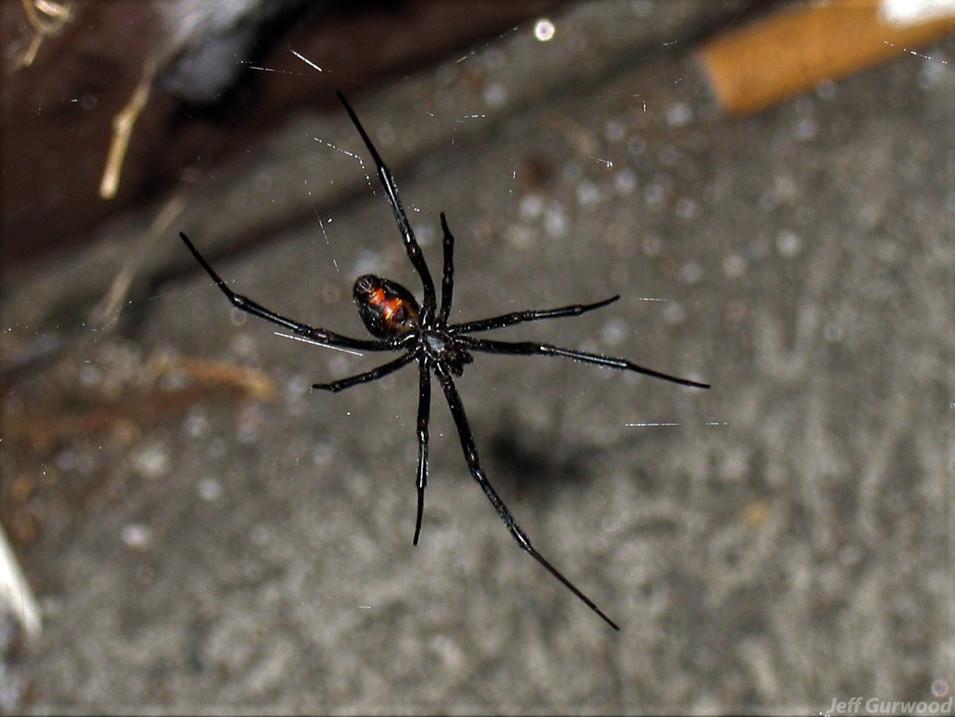 Black Widow by 7-11 in Burbank 2006