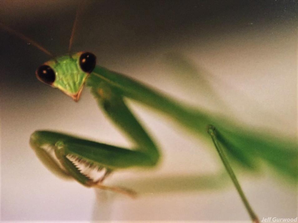 Mantis Friend 1994