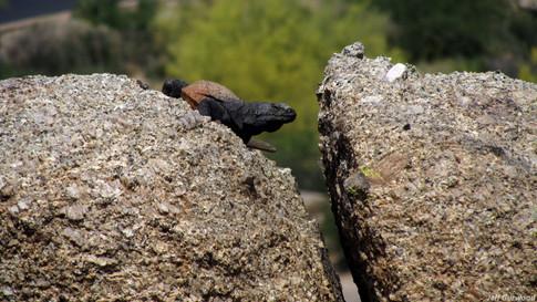 Arizona Lizard 2011