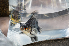 Fische in Plastiktuete.jpg