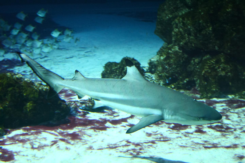 Shark Hai