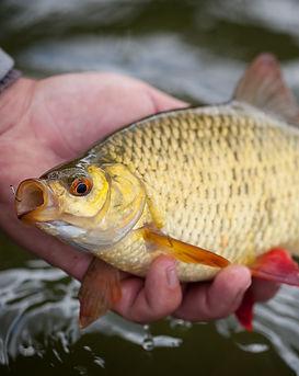 Weißfisch_angeln.jpg