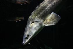 Stoer Beluga