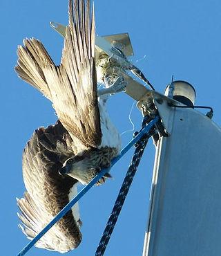Osprey-at-masthead.jpg