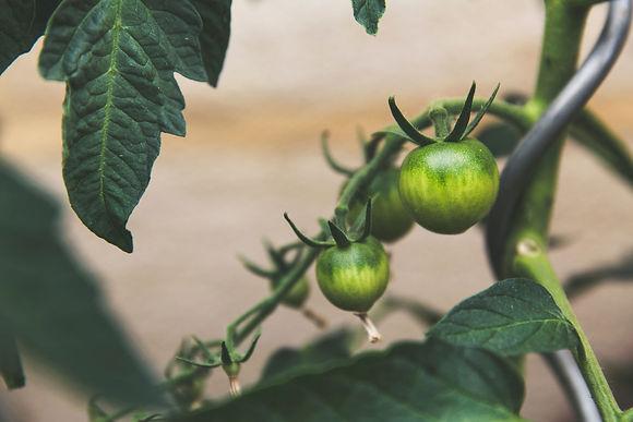 tomato green.jpg
