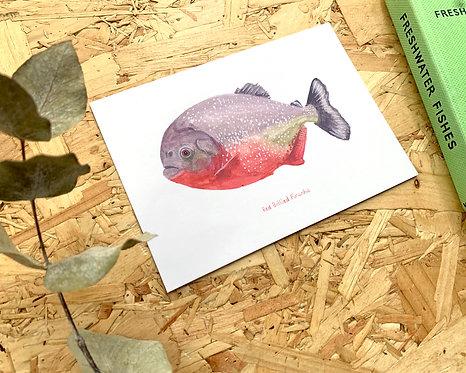 Red Bellied Piranha Postcard // Mini Print