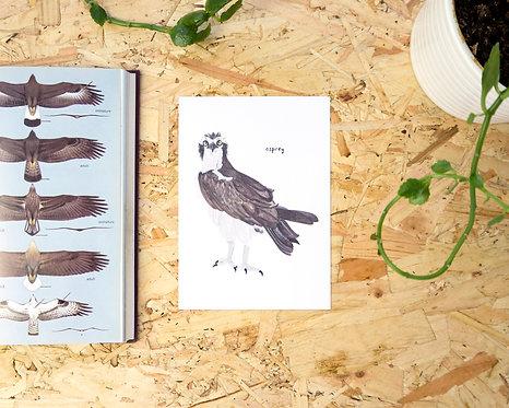 Osprey Postcard // Mini Print