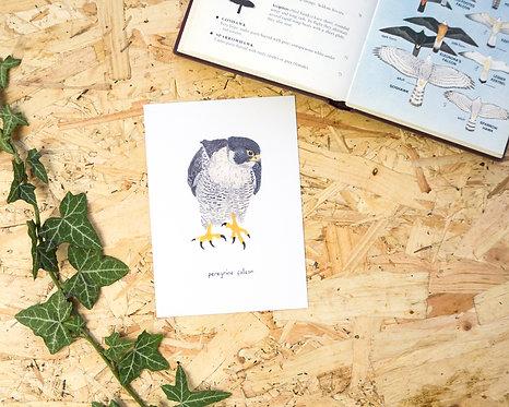 Peregrine Falcon Postcard // Mini Print