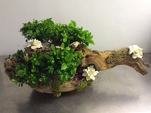 Multiple Gardenia Plants on Grapevine Trunk