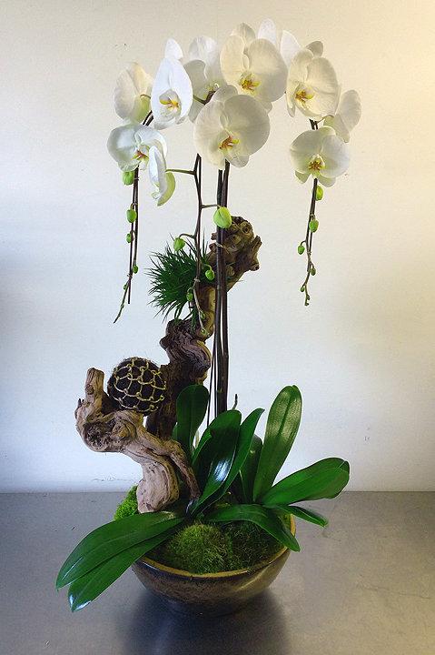 Triple Twisted Phalaenopsis Orchid
