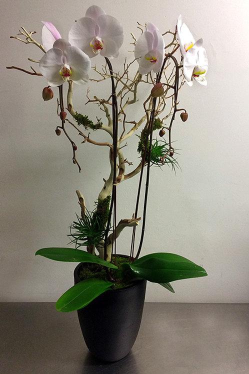 Large Double Phalaenopsis Orchid