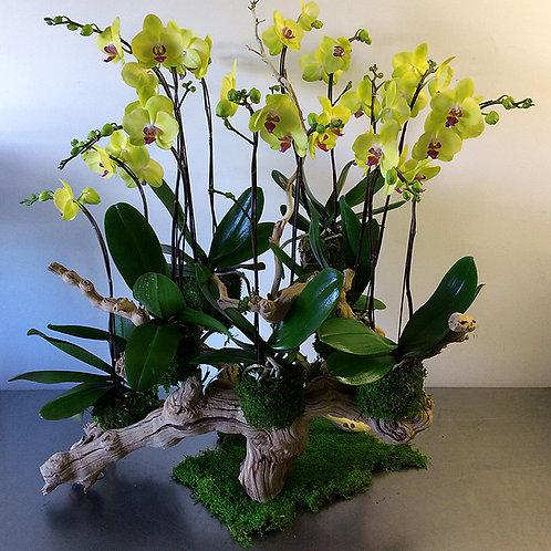 Grapevine Phalaenopsis