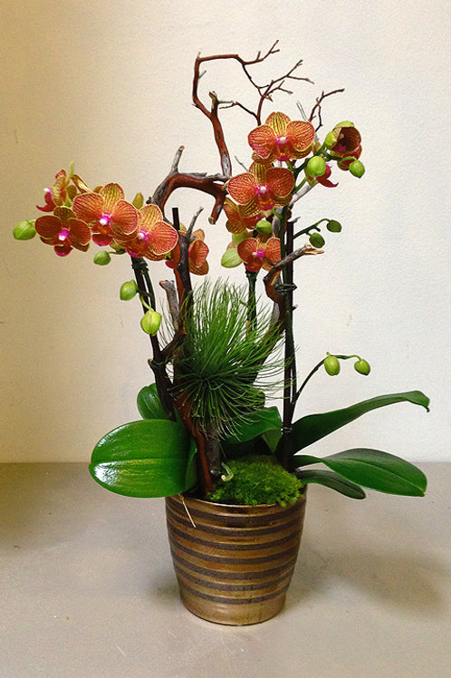 Medium Orchids in Bronze Pot