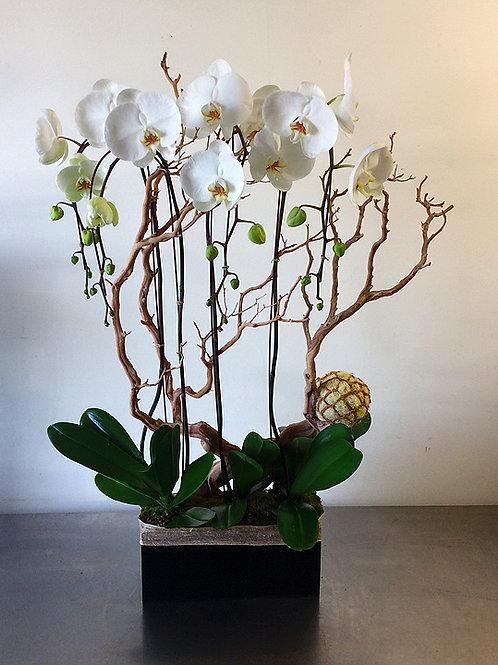 Phalaenopsis Quartet