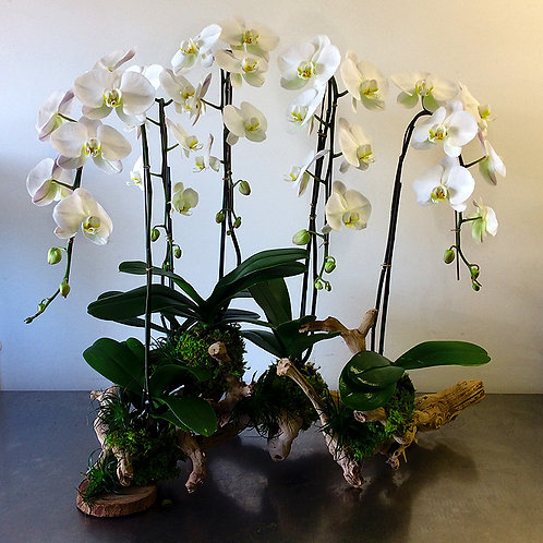 Five Spike Orchid Collection