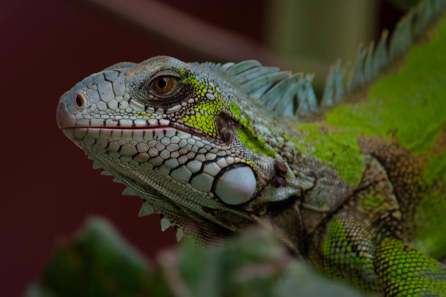 Eat Invasive Green Iguana To Save The Environment