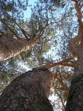 2. Три дерева