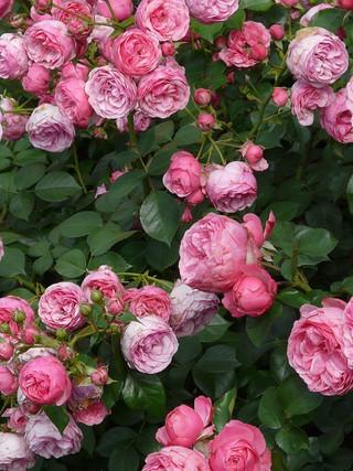 27. Куст розы