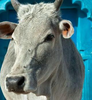 122. Брахман, корова и закон кармы