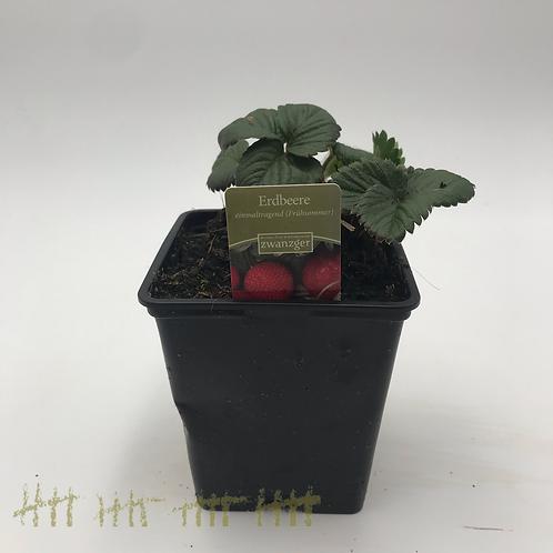 Erdbeere einmaltragend früh