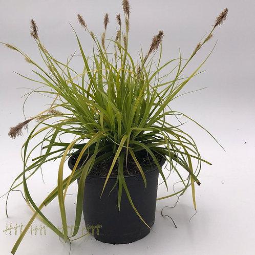 Carex Gras