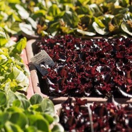 Lollo Rosso - Salat-Pflanzerl
