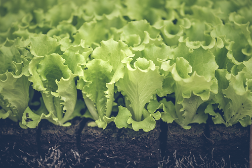 Grazer Krauthäuptel - Salat-Pflanzerl