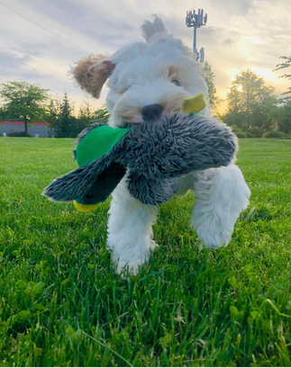 Mr Romeo, of Mabel and Herc,  happy as can be hunting down his stuffed duck at the park.
