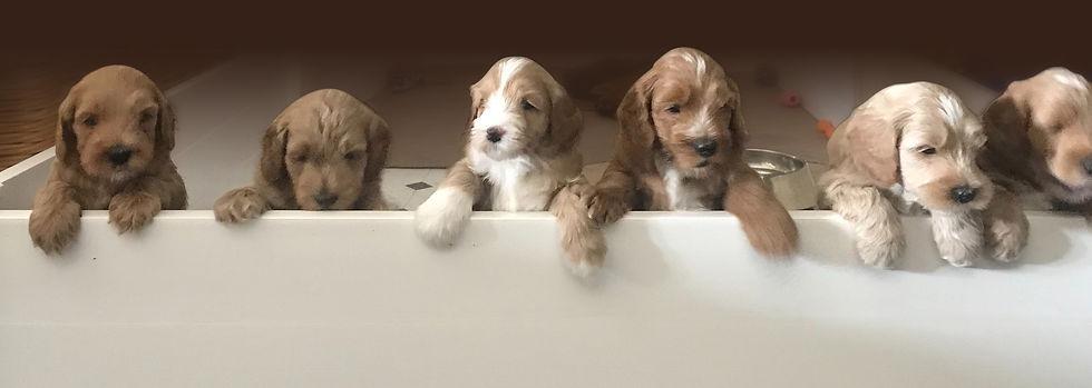 Lab-puppies-1lg.jpg