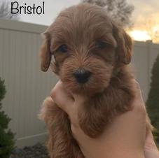 Bristol Male
