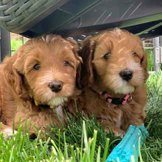Spruce Cali as Pups.jpeg