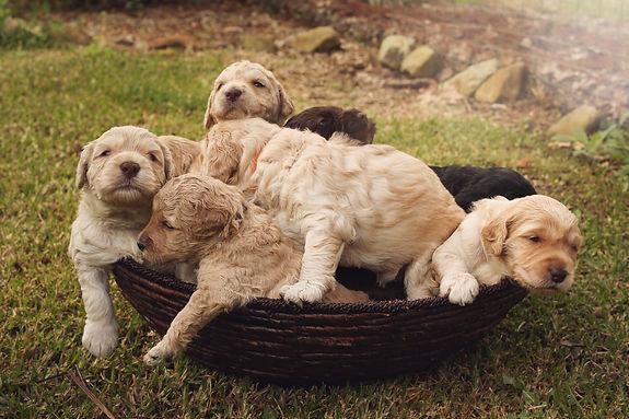 Basket-o-pups.jpg