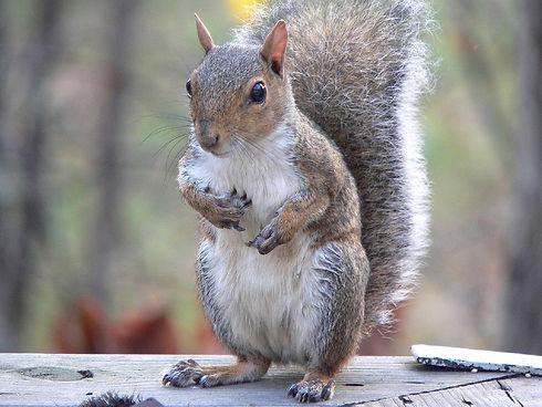 eastern-grey-squirrel-1163738_960_720.jp
