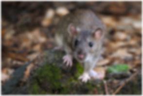 rat wix.jpg