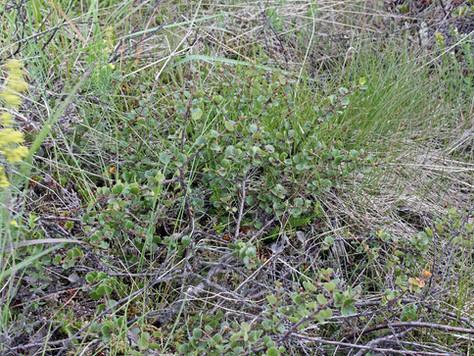 Brzoza karłowata - Betula nana L.