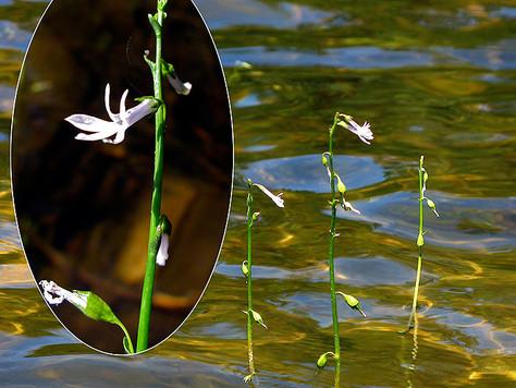 Lobelia jeziorna - Lobelia dortmanna L.