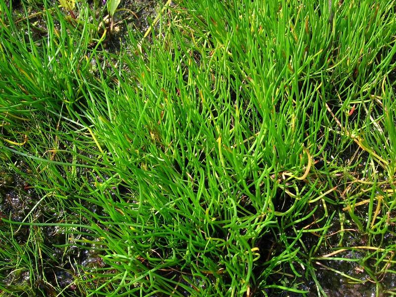 Brzeżyca jednokwiatowa - Littorella uniflora (L.) Asch.
