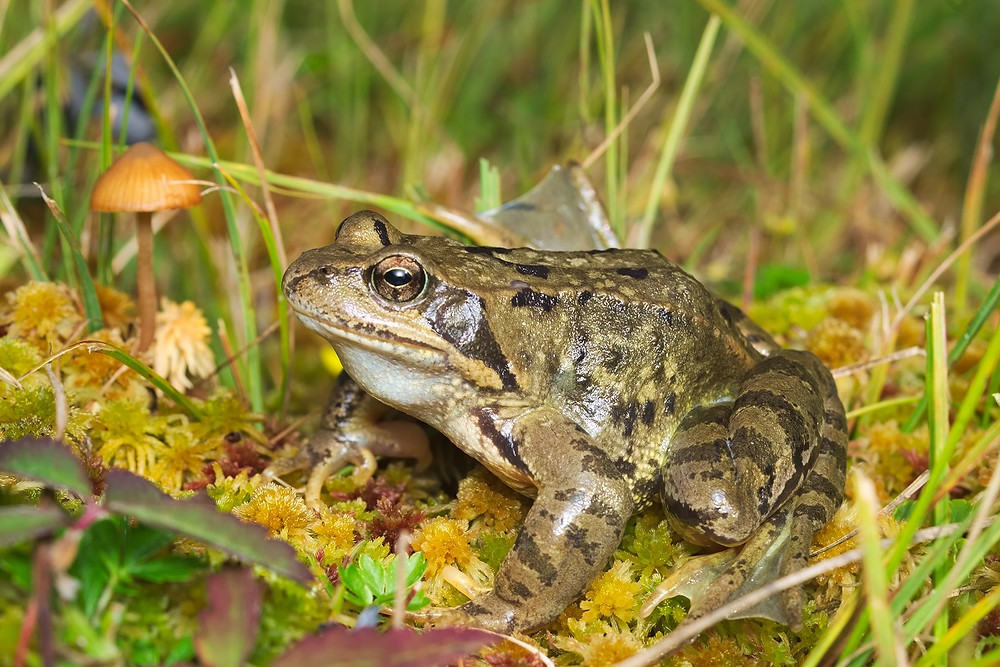 Żaba trawna na torfowisku