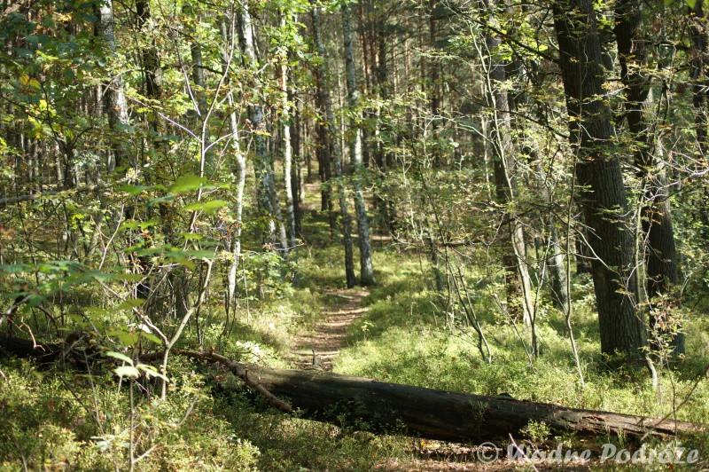 Zwalone drzewo na leśnej dróżce do Bocianowskiego Bagna