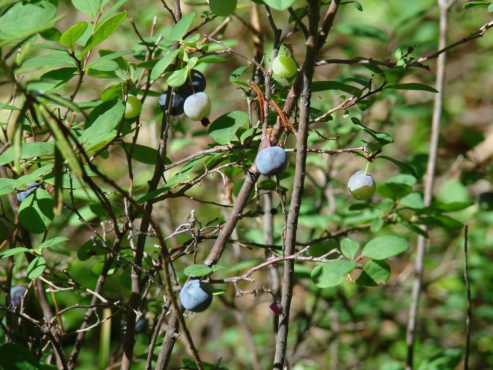 Borówka bagienna - Vaccinium uliginosum L.