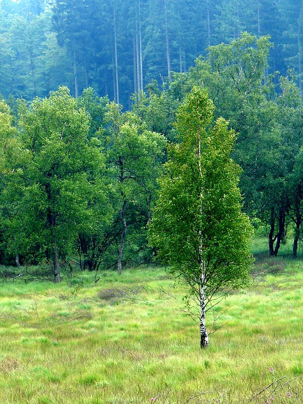 Brzoza omszona - Betula pubescens Ehrh.
