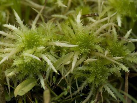 Torfowiec nastroszony - Sphagnum squarrosum Crome