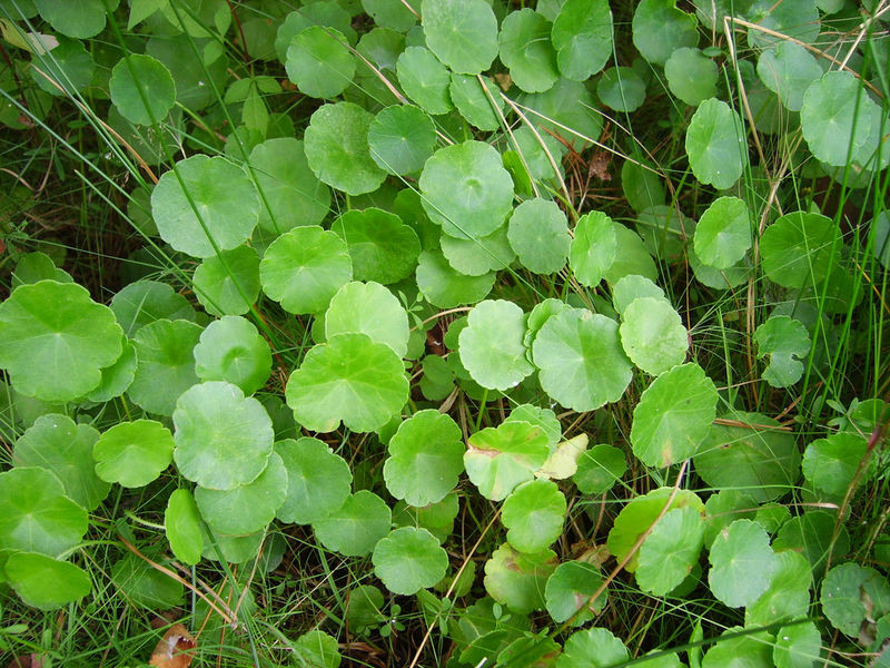 Wąkrota zwyczajna - Hydrocotyle vulgaris L.