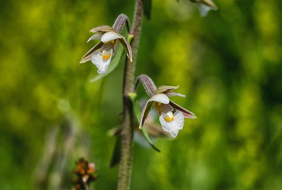 Kruszczyk błotny - Epipactis palustris (L.)