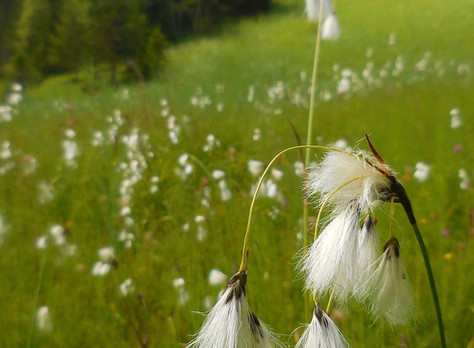 Wełnianka wąskolistna - Eriophorum angustifolium Honck.