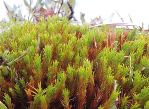 Płonnik cienki - Polytrichum strictum Menzies ex Brid.