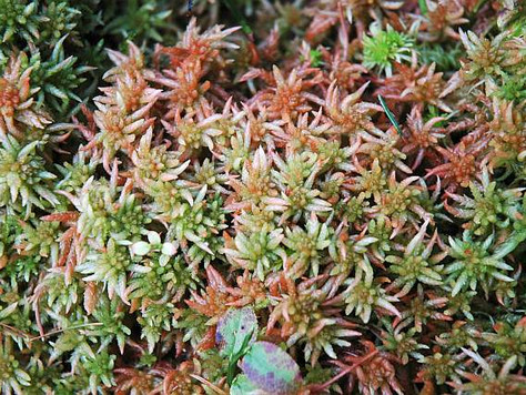 Torfowiec magellański - Sphagnum magellanicum Brid.
