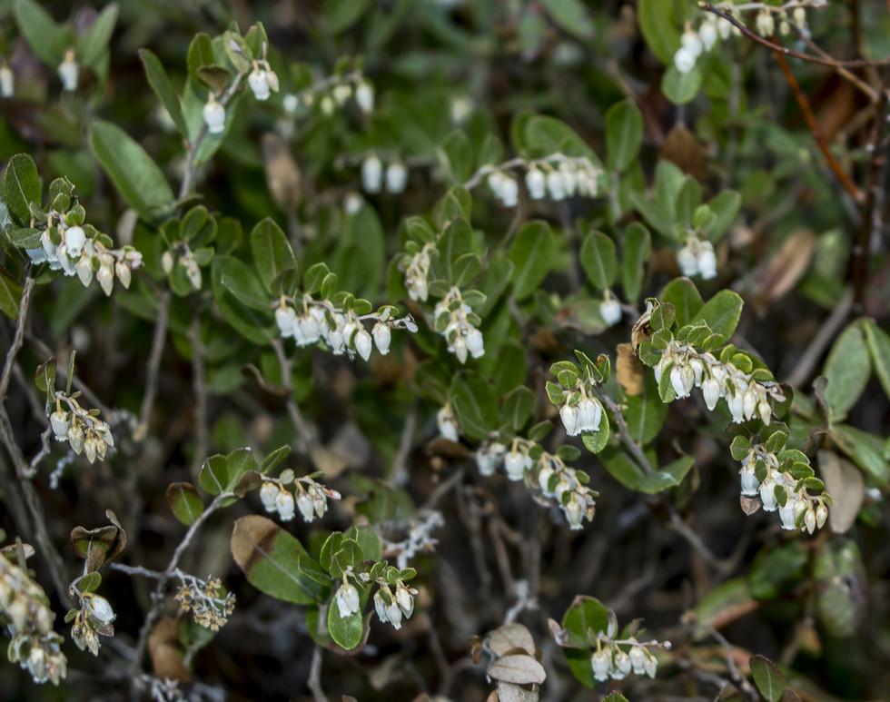 Chamedafne północna - Chamaedaphne calyculata (L.)